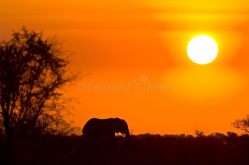 Éléphant africain sauvage et coucher du soleil, parc national de Kruger, Afrique du Sud image stock