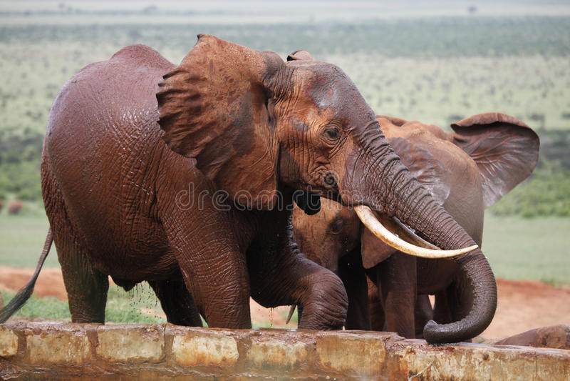 Éléphant africain spalshing photos libres de droits