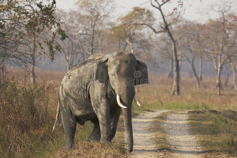Éléphant asiatique énorme de Bull photos stock