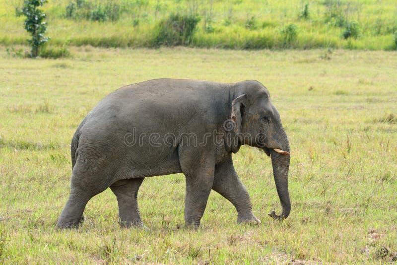 Éléphant asiatique de Taureau (maximus d'Elephas) photo libre de droits