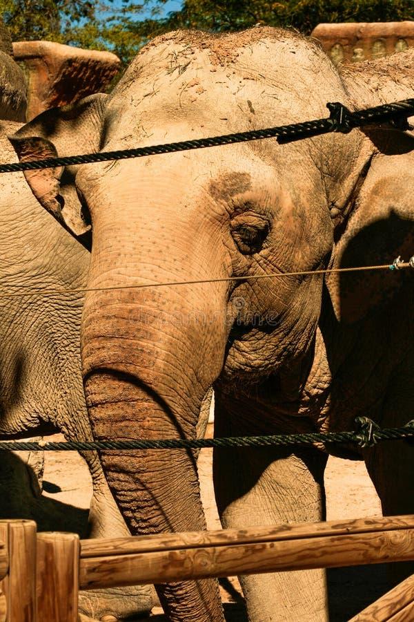 Éléphant asiatique derrière une barrière de sécurité photographie stock