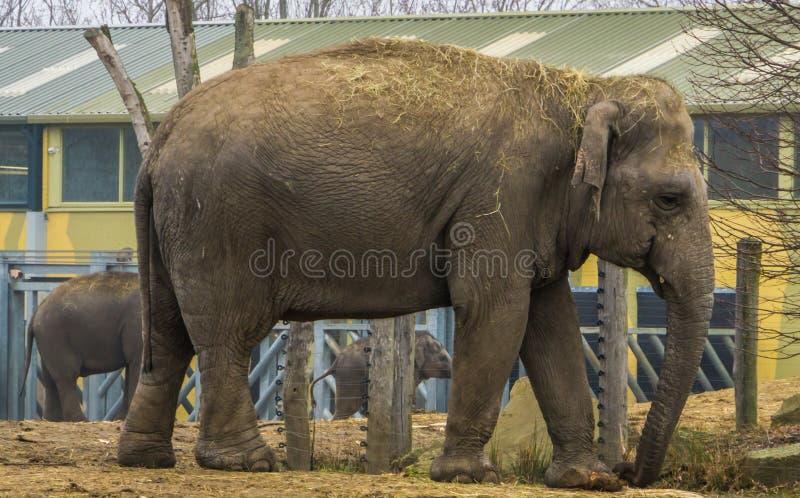 Éléphant asiatique femelle marchant par, espèce animale mise en danger d'Asie photos stock