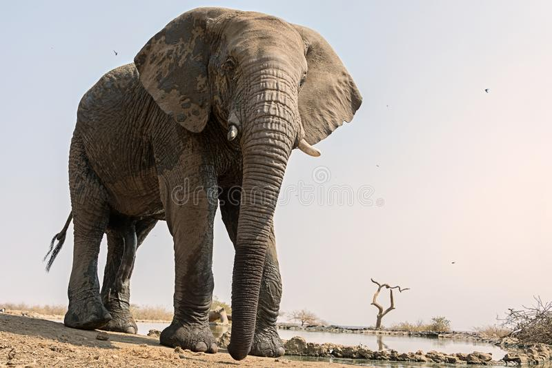 Éléphant au point d'eau images libres de droits