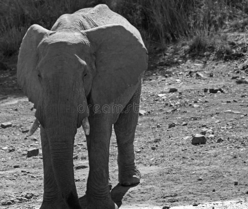 Éléphant au trou d'eau photographie stock