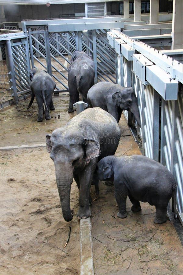 Éléphant avec des éléphants dans la volière de zoo pendant l'hiver images stock