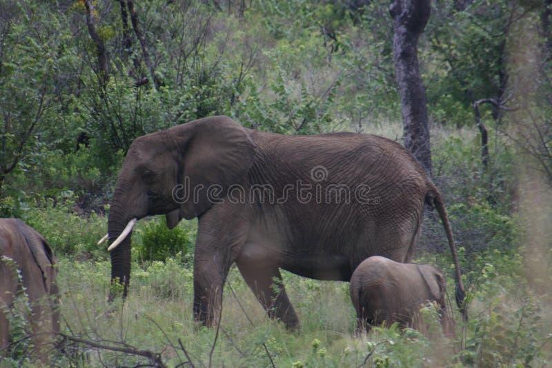 Éléphant avec le bébé dans le troupeau naturel image libre de droits