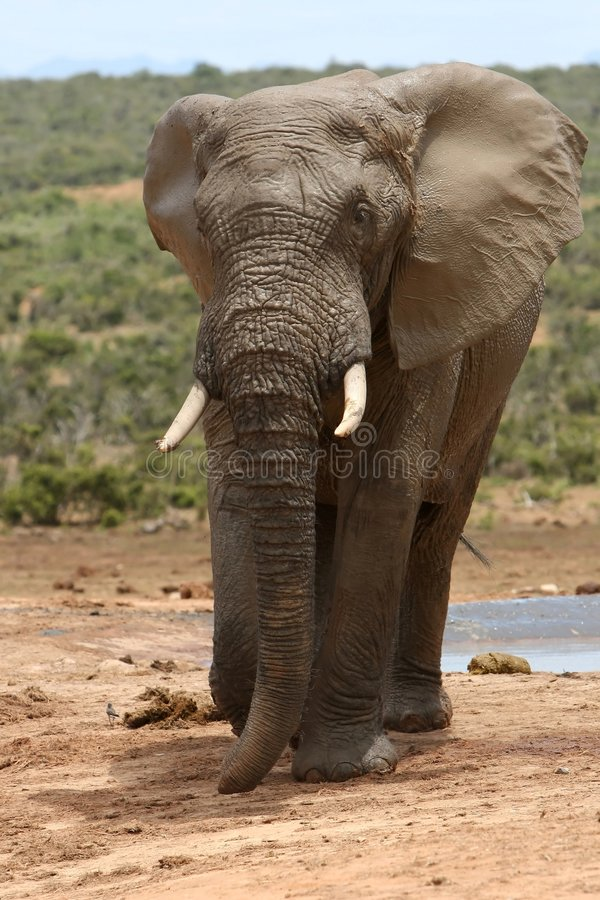 éléphant boueux photos stock