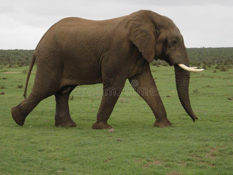 Éléphant Bull images stock