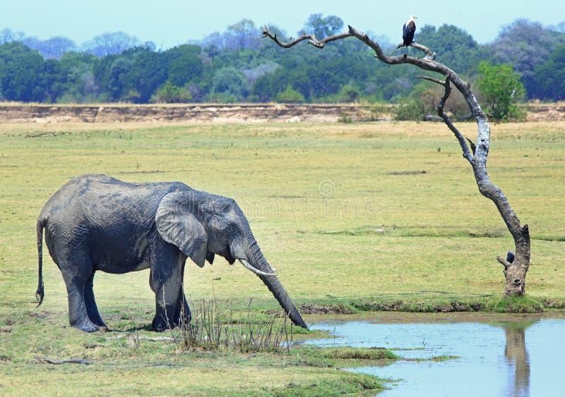 Éléphant buvant d'une lagune tandis qu'un aigle de poissons d'Africain est perché dans un arbre nu sur les plaines en parc nation image libre de droits