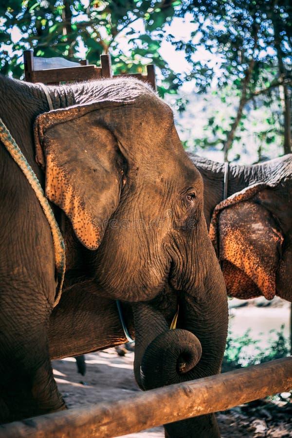 Éléphant clôturé dans la jungle près de Luang Prabang, Laos photographie stock