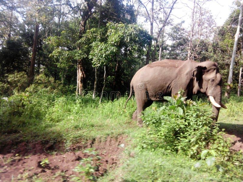 Éléphant dans la forêt image libre de droits