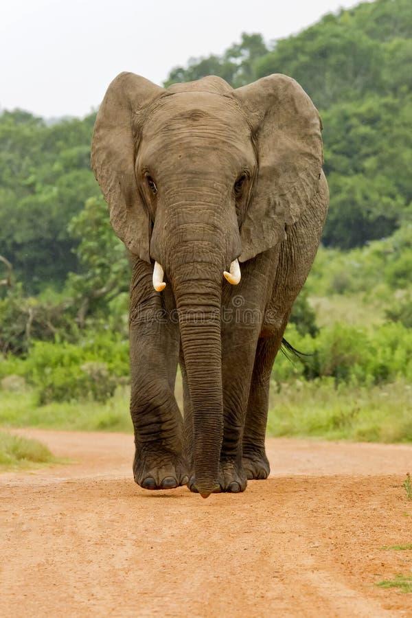 Éléphant dans la route image stock