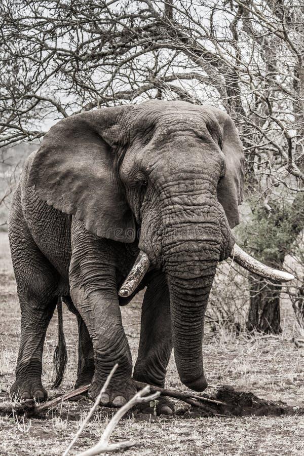 Éléphant dans le krugerpark images libres de droits