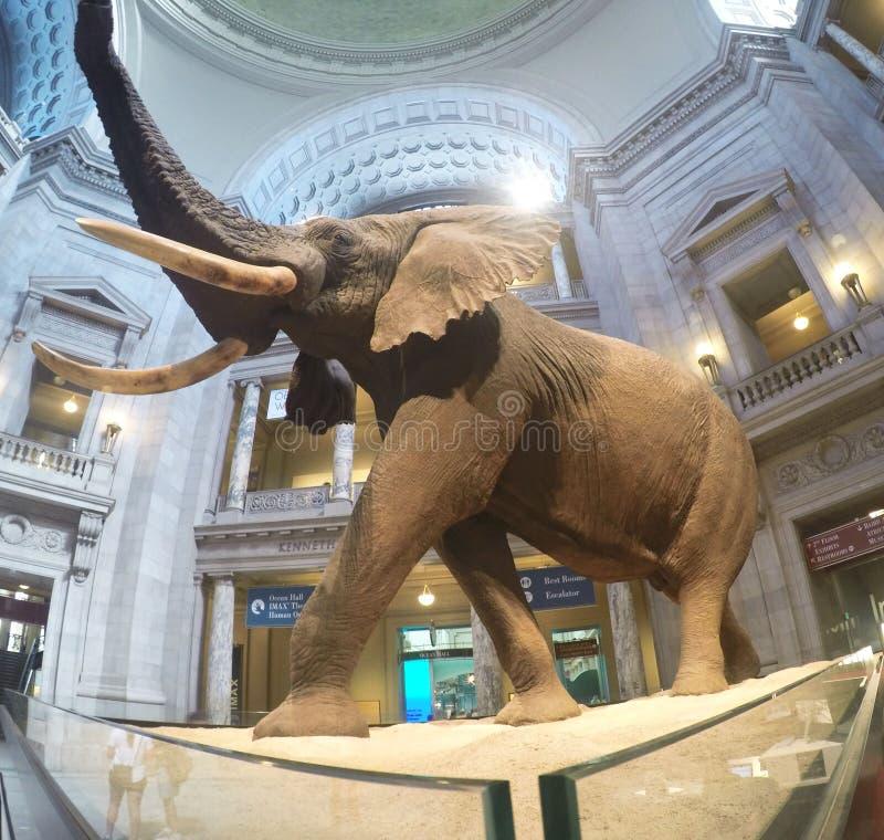 Éléphant dans le musée de Washington photos stock