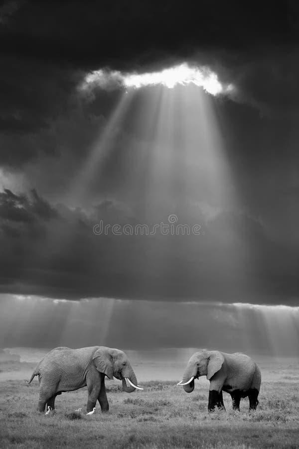 Éléphant dans le sauvage images libres de droits