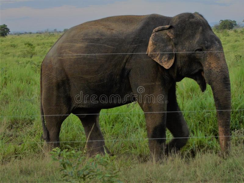 Éléphant dans Udawalawe Sri Lanka images libres de droits