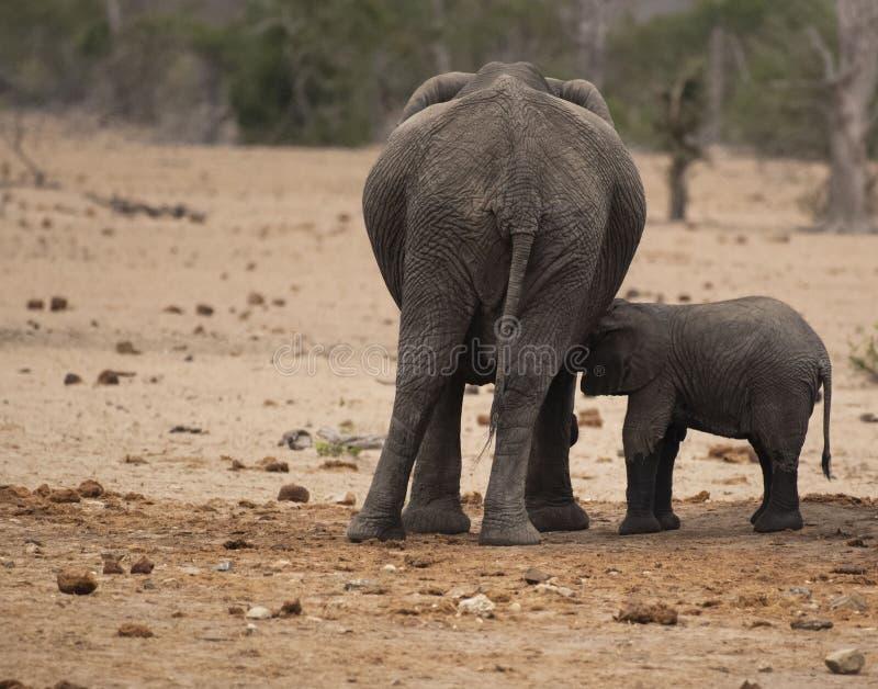 Éléphant de bébé, africana de loxodonta, buvant de la mère, avec le paysage sec à l'arrière-plan photographie stock libre de droits