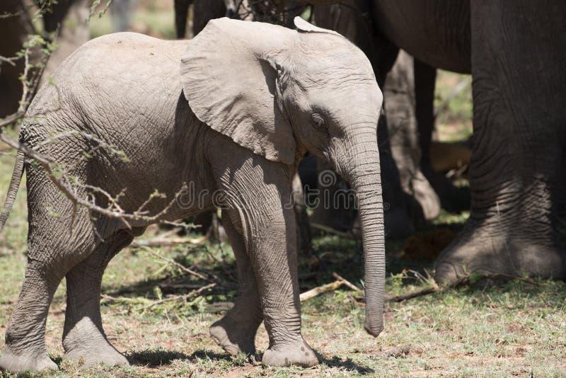 Éléphant de bébé en soleil photos libres de droits