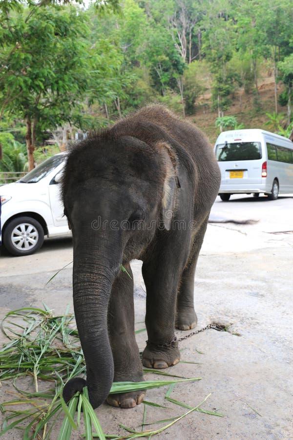 Éléphant de bébé enchaîné pour obtenir l'argent des touristes images stock