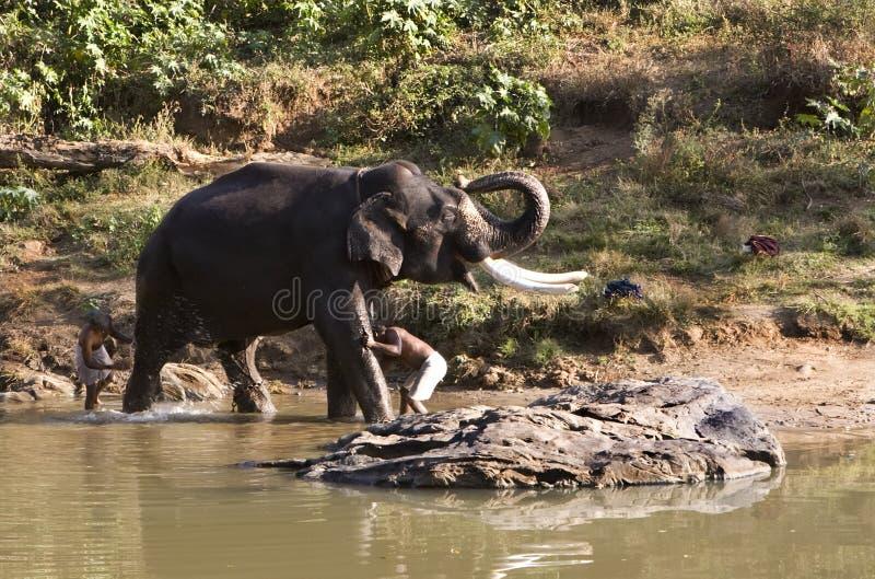 éléphant de bain obtenant l'Indien de l'Inde photos stock