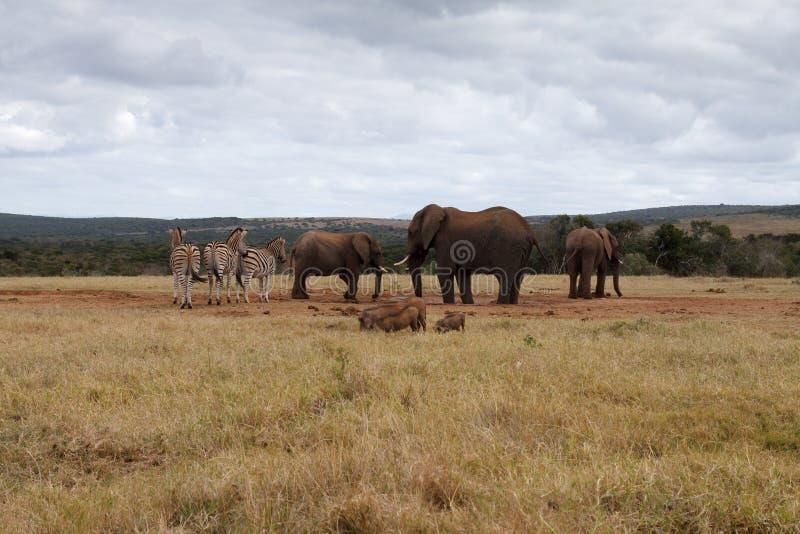 Download Éléphant De Bush D'Africain Assurant Le Trou D'eau Image stock - Image du gibier, national: 77160155