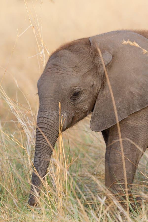 Éléphant de chéri photos stock