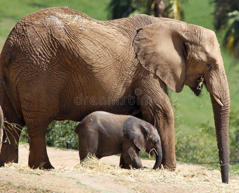 Éléphant de mère et de chéri photos stock