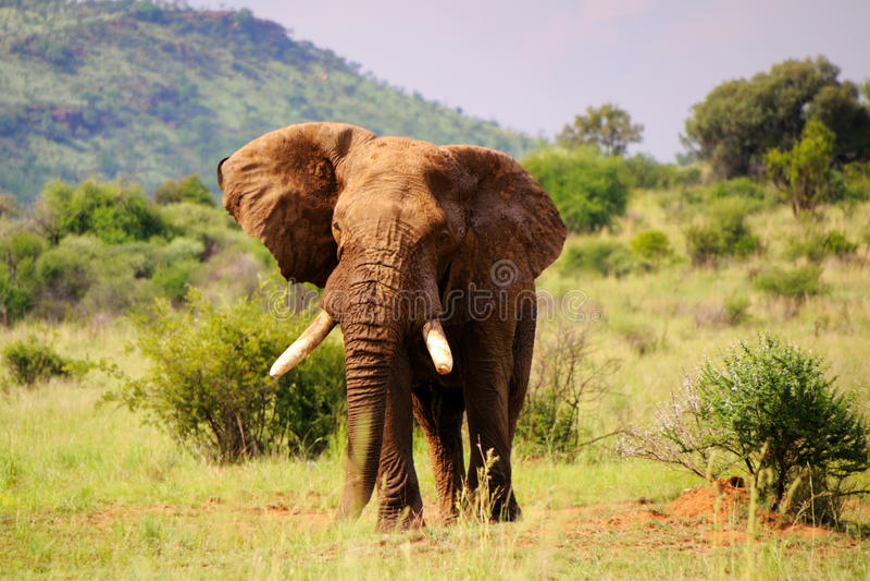 Éléphant de marche images stock