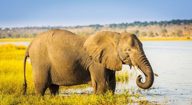 Download Éléphant De Parc National De Chobe Image stock - Image du nature, animal: 77151341