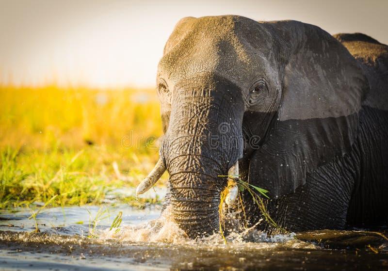Download Éléphant De Parc National De Chobe Image stock - Image du stationnement, sauvage: 77151427