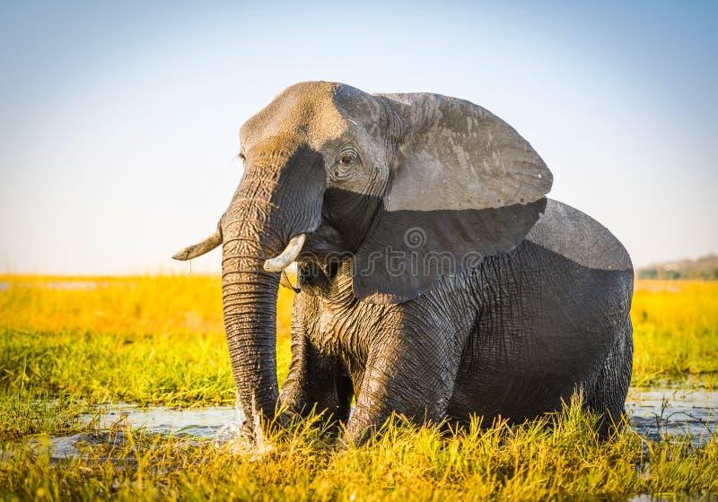 Download Éléphant De Parc National De Chobe Image stock - Image du savannah, safari: 77154221