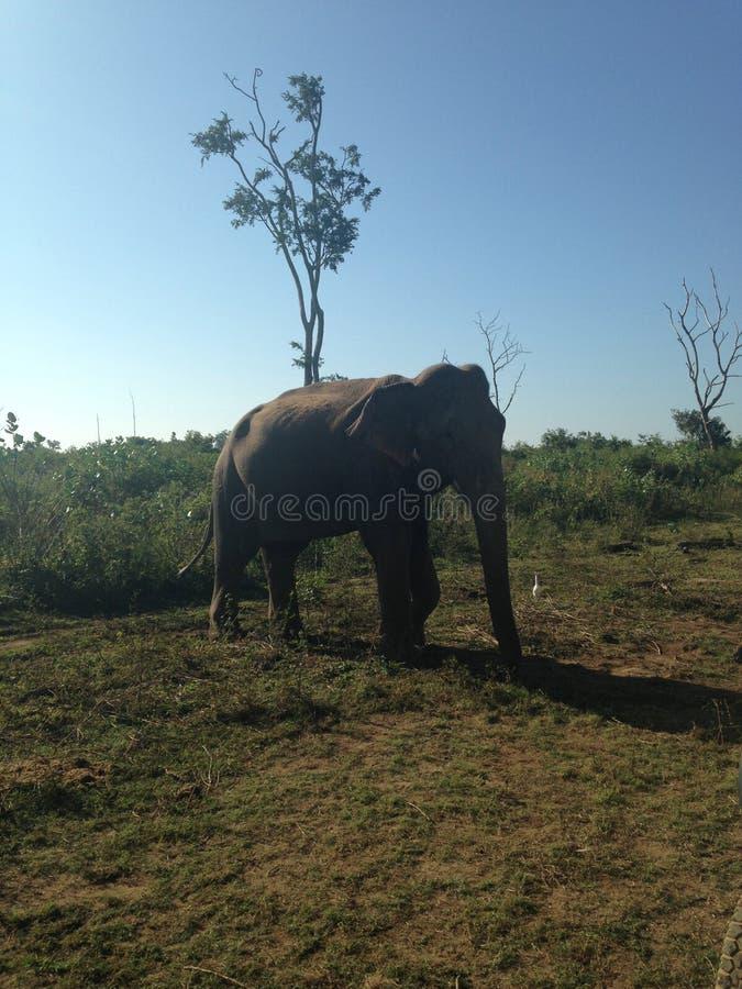 Éléphant de Sri Lanka image stock