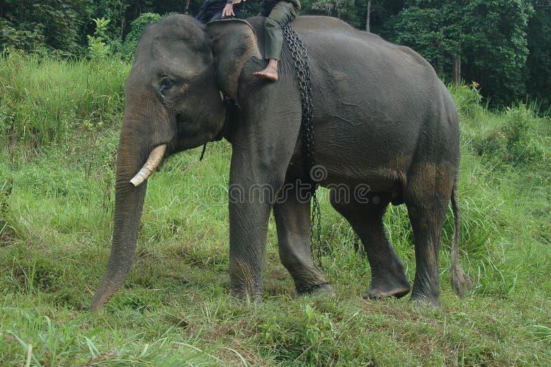 Éléphant de Sumatra image libre de droits