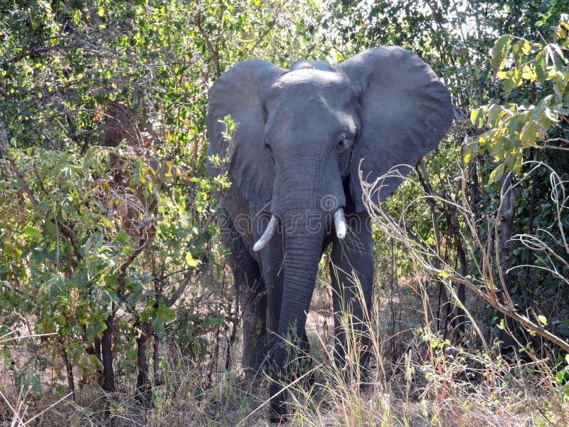 Éléphant de Taureau image stock