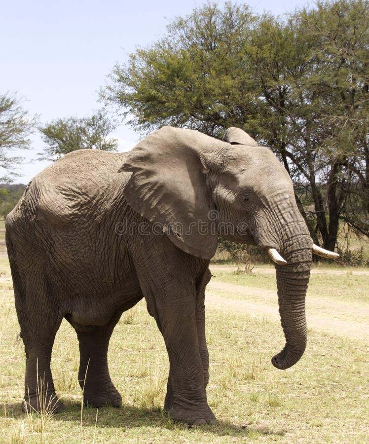 Éléphant de taureau africain photos libres de droits