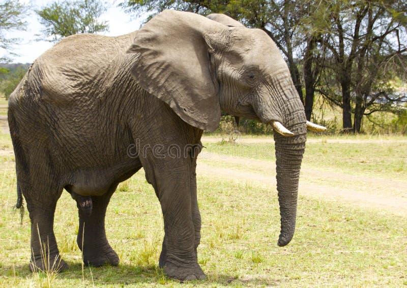 Éléphant de taureau africain photographie stock libre de droits