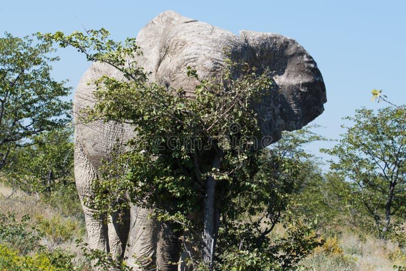 Éléphant de Taureau rayant sur un arbre beaucoup plus petit en parc national africain photographie stock