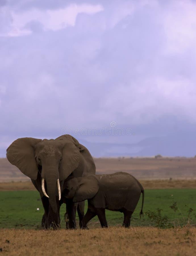 éléphant de vache à veau image stock