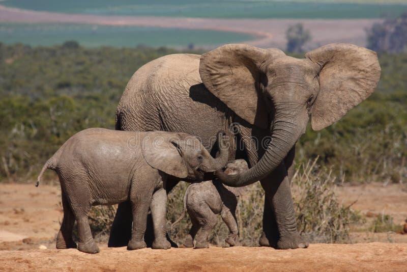 éléphant de vache à veaux photographie stock libre de droits