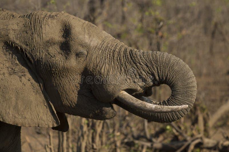Éléphant durci dans la boue comme protection contre le soleil photo libre de droits