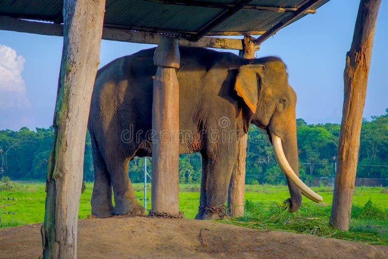 Éléphant enchaîné sous un tructure à l'extérieur, en parc national de Chitwan, le Népal, concept de cruauté photo stock