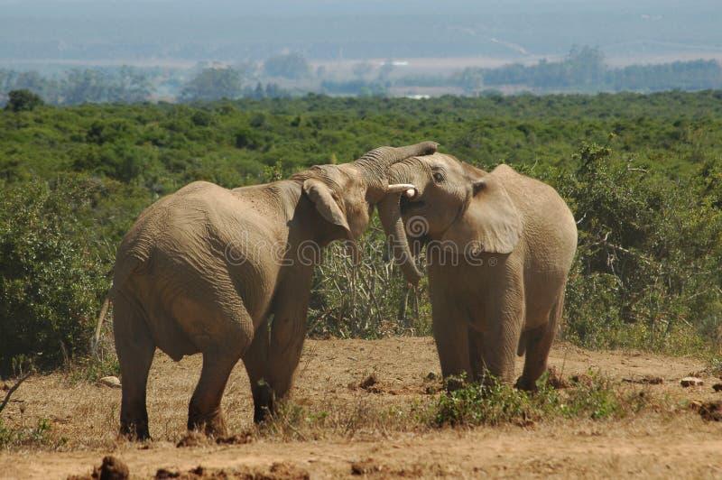 Éléphant et éléphant photos libres de droits