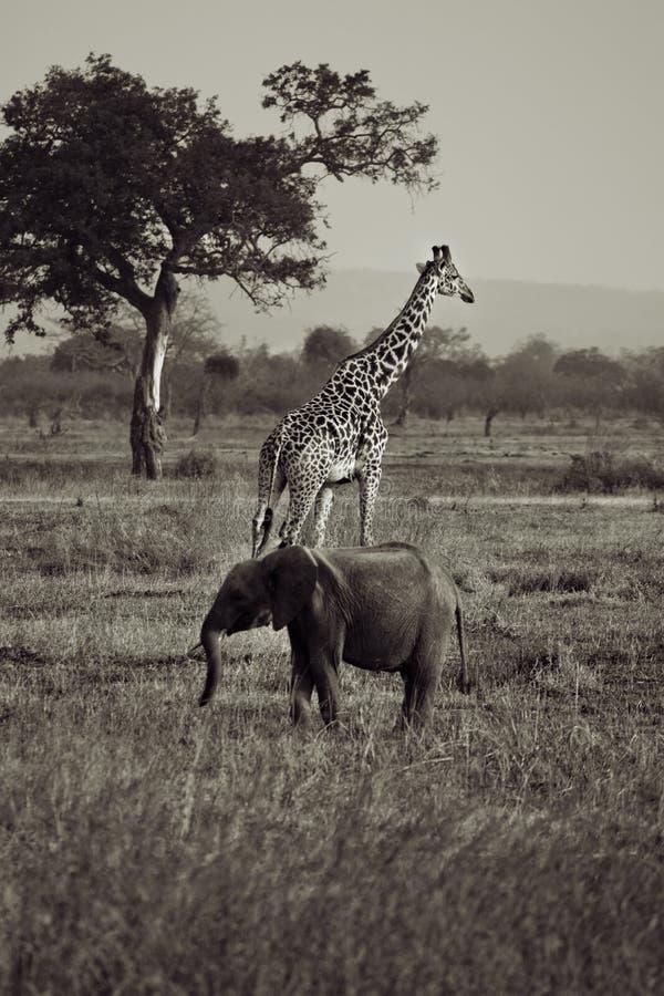 Éléphant et giraffe photographie stock