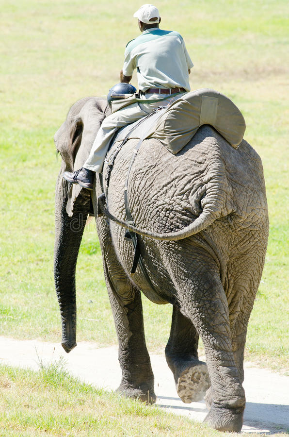 Éléphant et guide photos libres de droits