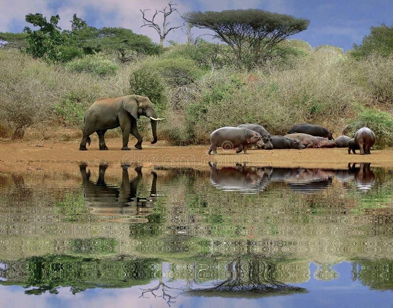 Éléphant et hippopotames image libre de droits
