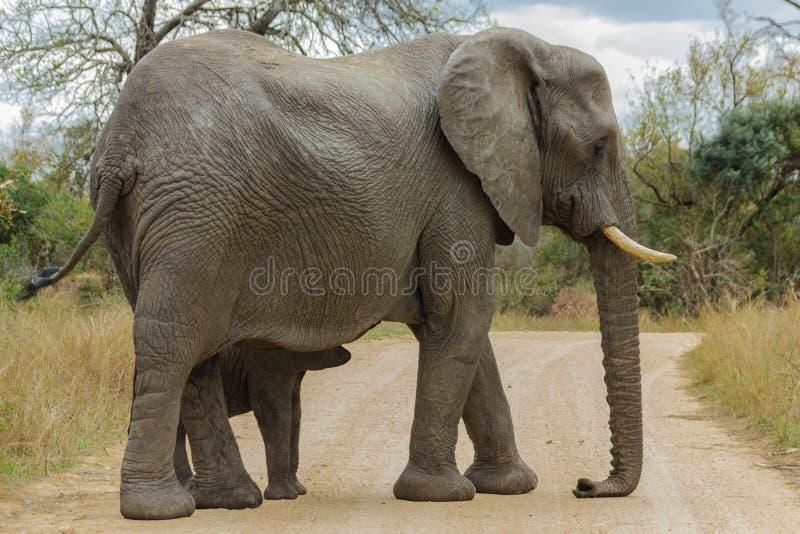 Éléphant et veau sur un chemin de terre abandonné photo stock