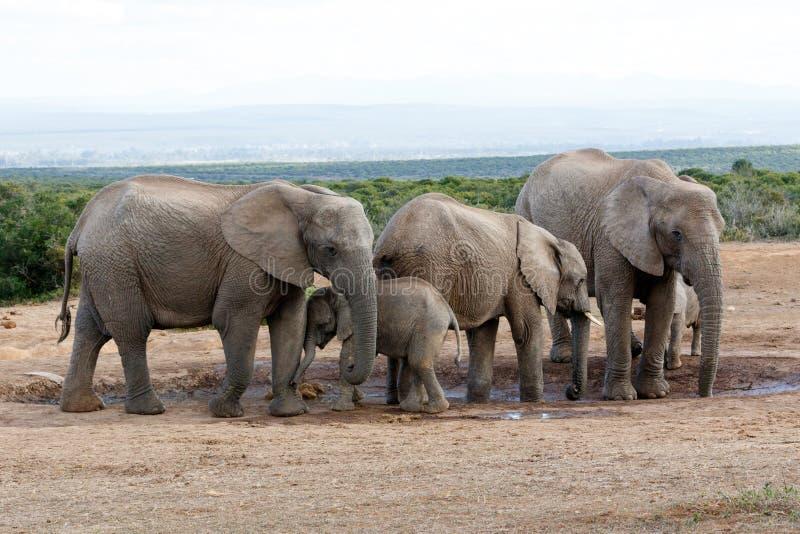 Download Éléphant Familie De Bush D'Africain Image stock - Image du normal, endangered: 77162937