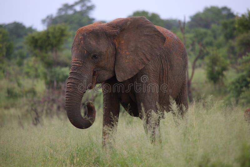 Éléphant femelle avec la lotion de Sun de boue en parc national de Hwage, Zimbabwe, éléphant, défenses, loge d'oeil du ` s d'élép image stock