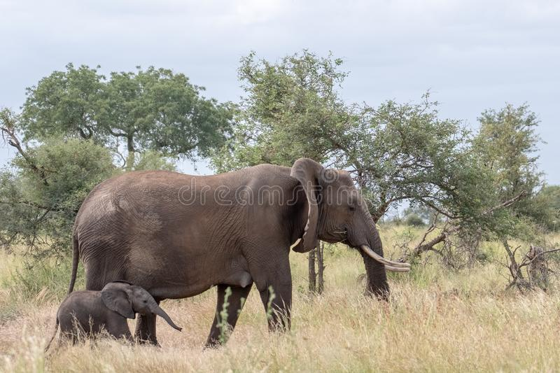 ?l?phant femelle et nouvellement promenade n?e de veau dans la longue herbe au parc national de Kruger, Afrique du Sud images libres de droits