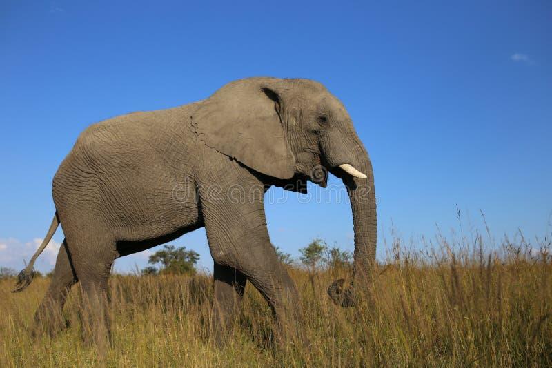 Éléphant majestueux de Bush d'Africain images stock